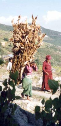 Nepal, girl carrying maize